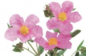 Die heiledne Pflanze Cistus Incanus